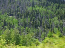 The Mountain Pine Beetle has caused many trees in Rocky Mountain National Park to die - see all the blackish grey trees in this picture