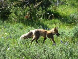 A fox on the hunt, spotted by Sarah's eagle eyes