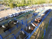 Horses and bulls, before the show